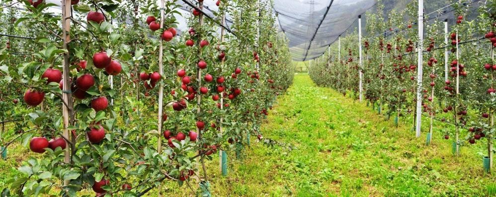 Le mele della Valsassina  conquistano il mercato