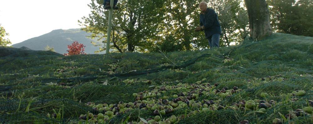 «Sarà un anno pessimo: non ci sono olive  Colpa del clima? No, di cimici e mosche»