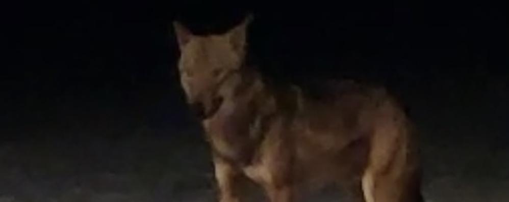 Perse le tracce del lupo bormino: «E comunque non è pericoloso»