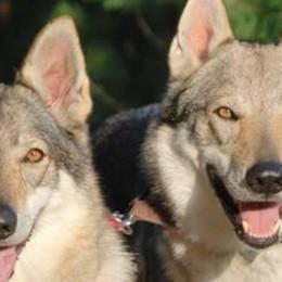 Due cani seminano il terrore a Maggio  Cagnolina sbranata, attaccato un uomo