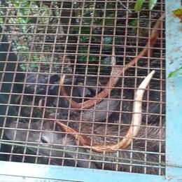 Gravedona, cervo in gabbia liberato  Era  nella trappola anti cinghiali    GUARDA IL VIDEO