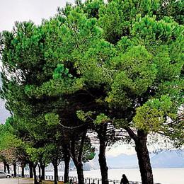 «Non tagliate quei pini sul lungolago»  Ambientalisti e cittadini si mobilitano