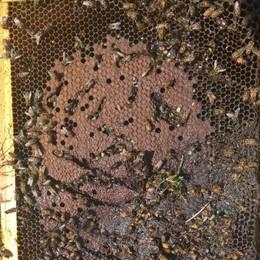 L'orso a caccia di miele, distrutte altre arnie a Grosio
