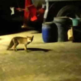 Psicosi puma a Erba  Ma è una volpe  e si vede dalla coda
