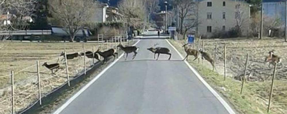 Pian di Spagna, l'invasione dei cervi  «Stanno distruggendo l'agricoltura»