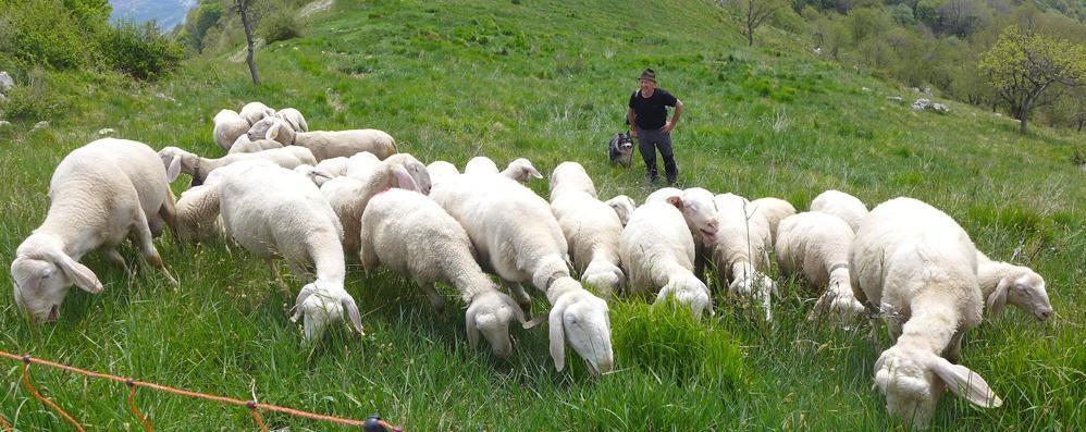 Eupilio, l'ultimo pastore del Cornizzolo Gaetano e la transumanza con 30 pecore