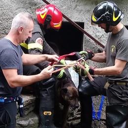 Kira salvata nella baita allagata  Due vitelli finiti nel torrente