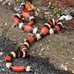 Corallo finto, paura vera  Il serpente è tornato a casa sua