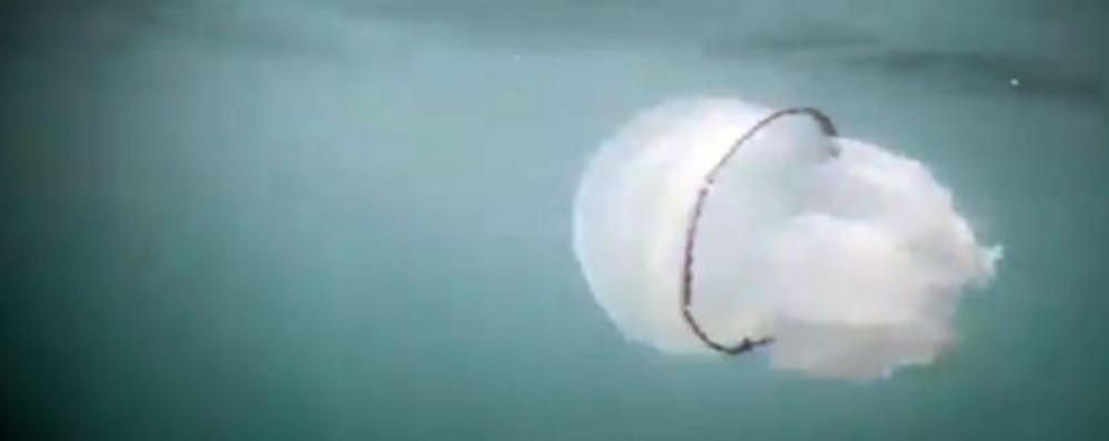In vacanza con le mega meduse  Ma non sono pericolose