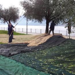 Cadono le olive, a rischio l'olio del lago  Sotto accusa un fungo e una cimice