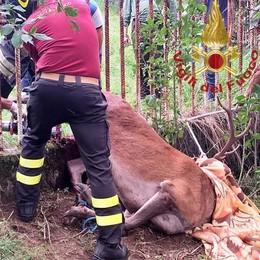 Il cervo resta infilzato  Lo liberano i pompieri