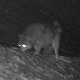 Val Cavargna, il lupo all'attacco Sbranate le capre al pascolo
