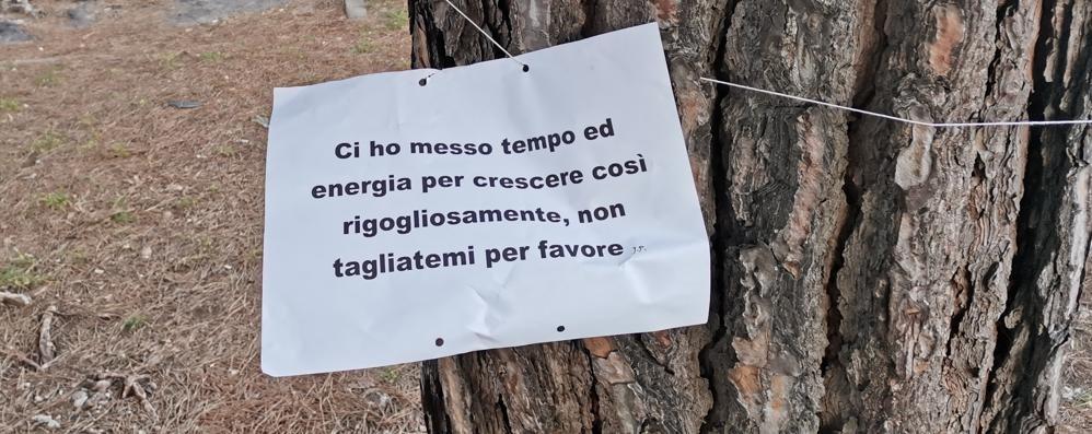 Malgrate, pini da tagliare, già 500 firme   E si chiama in causa l'autorità forestale