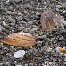 L'invasione dei molluschi asiatici  nel ramo lecchese del Lario