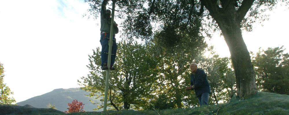 Dai filari degli agricoltori ai giardini di casa  Partito il censimento per contare gli ulivi