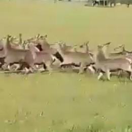 Pian di Spagna, branco di cervi  attraversa la strada (video)