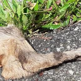 Piani Resinelli, strage di caprioli  Cani liberi di notte a caccia nei boschi