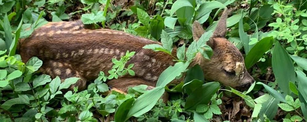Magreglio, come muore Bambi  «Non lasciate cani liberi nei boschi»