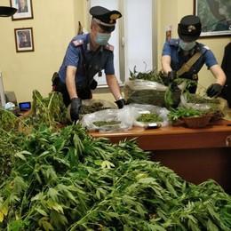 Coltivava piante di cannabis  Un arresto a Lierna