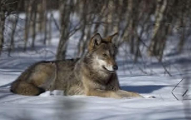 Missaglia, il lupo torna  ad attaccare le pecore
