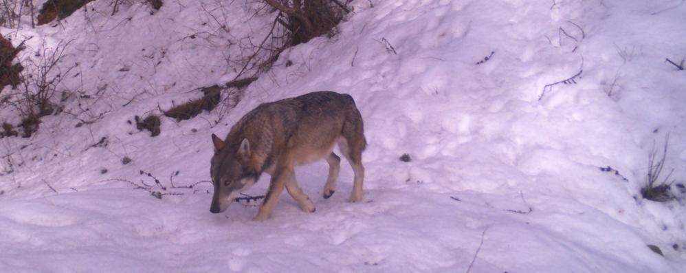 Reti elettrificate per arginare il lupo  nei boschi del parco del Curone