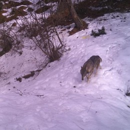 Pecore sbranate dal lupo  La Regione dà i rimborsi