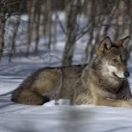 «Il lupo è tornato»  Allarme sui social