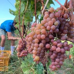 Montevecchia, Un'ottima annata  almeno per il vino, i produttori brindano
