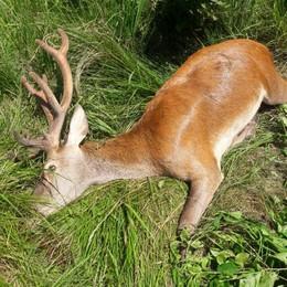 Colico, cervo ferito dai bracconieri  Soppresso dopo una lunga agonia