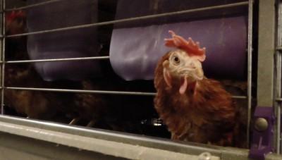 Ong, l'appello dei cittadini contro l'allevamento in gabbia
